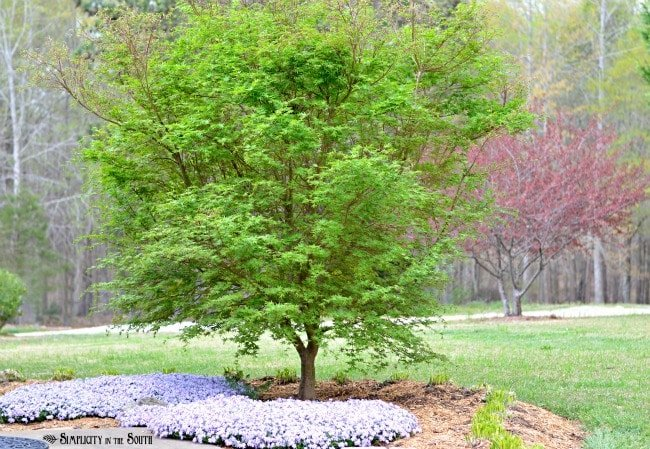 Japanese Maple and creeping phlox