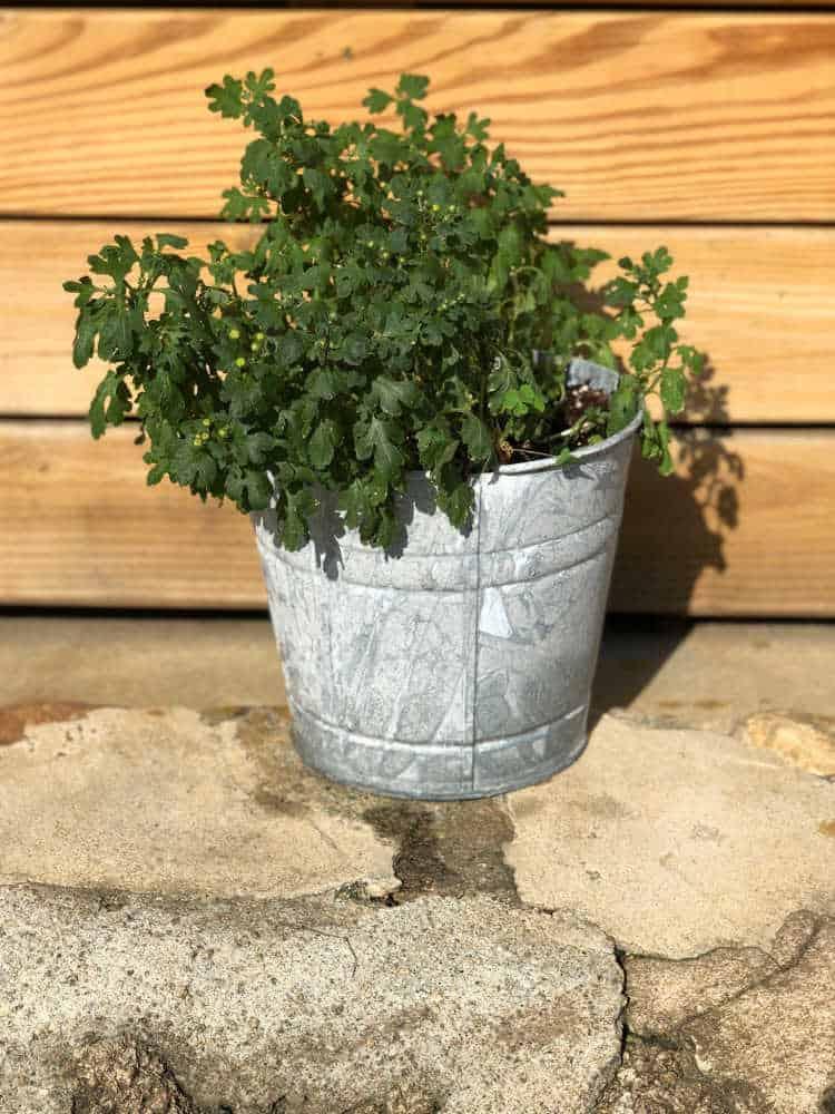 DIY aged galvanized bucket planter